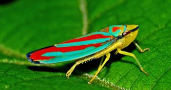 Colorful red, blue and yellow leafhopper.