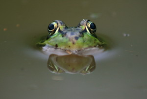 Leopard frog eyes. (Pdunant / Wiki; cc by 3.0)