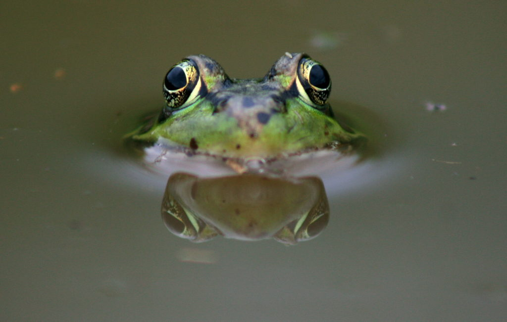 Close up image of a Leopard Frog peering out of water and a close view of its eyes.