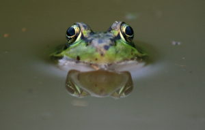 Close up image of a Leopard Frog peering out of water, with a close view of its eyes.
