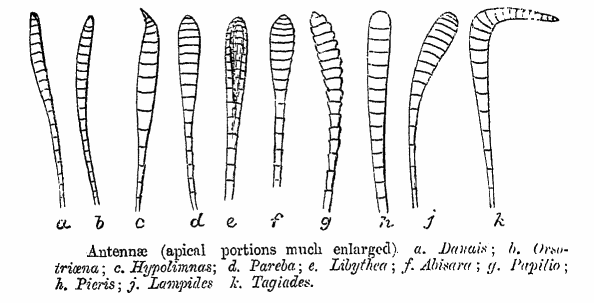 Examples of Lepidoptera antennae. (C.T. Bingham, Fauna of British India - Butterflies, 1905; PD)