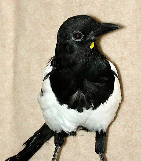 """Gerti,"" an Eurasian Magpie wearing a yellow dot on her chest."