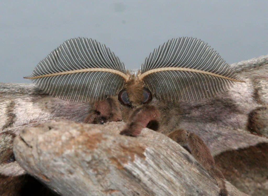 Close up view of the feathery antennae of a male Polyphemus Moth.