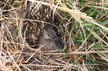 Female Mallard hiding among grasses.