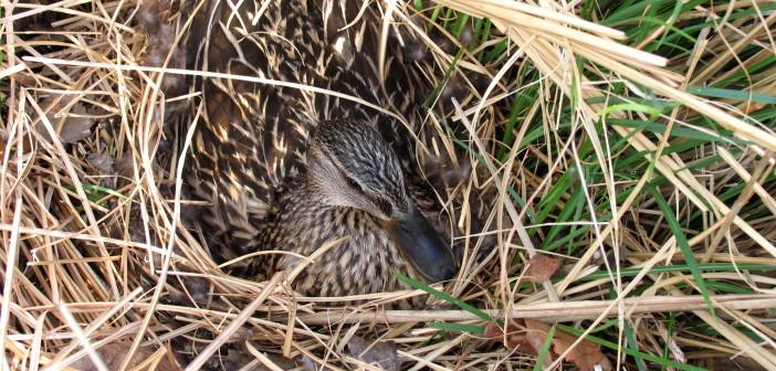 Female Mallard hiding among grasses.