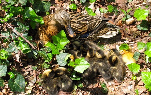 Mallard mother and her ducklings. (WW)