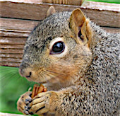 Close up of the face of a Fox Squirrel who is holding a shelled pecan with her front front feet.