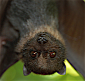 Close up of the face of a bat who is hanging upside down.