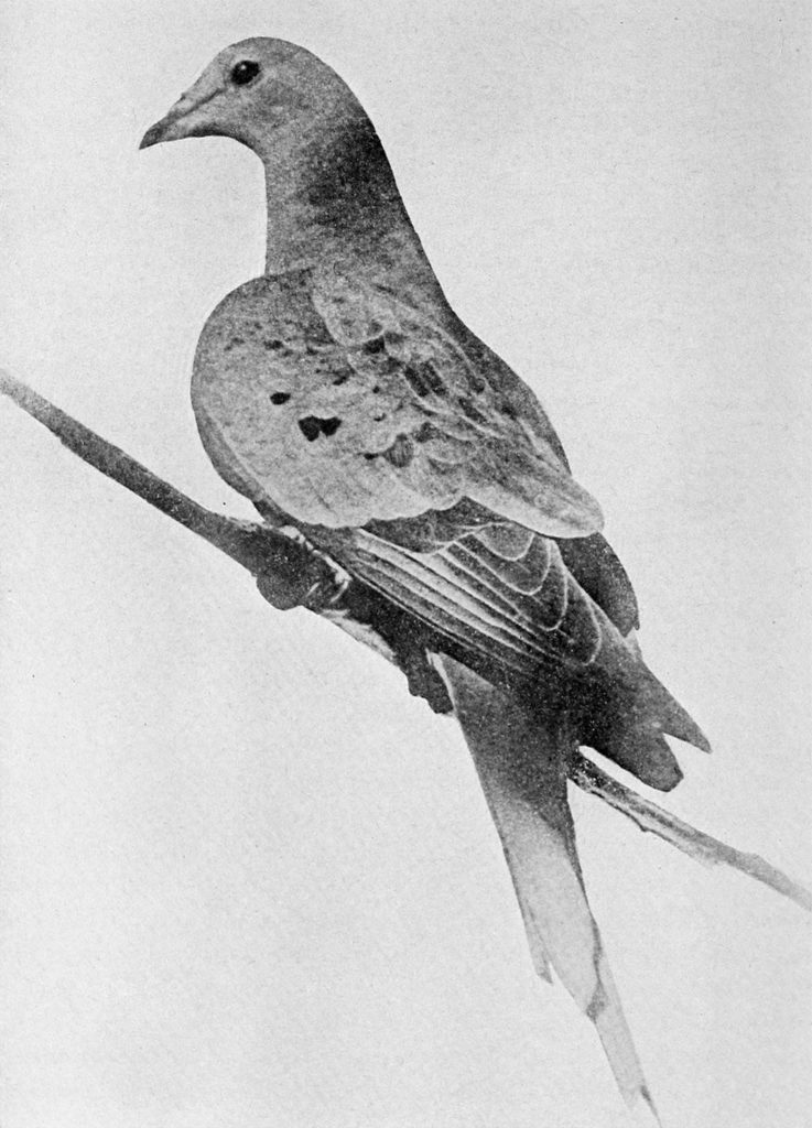 Martha, the last Passenger Pigeon,
