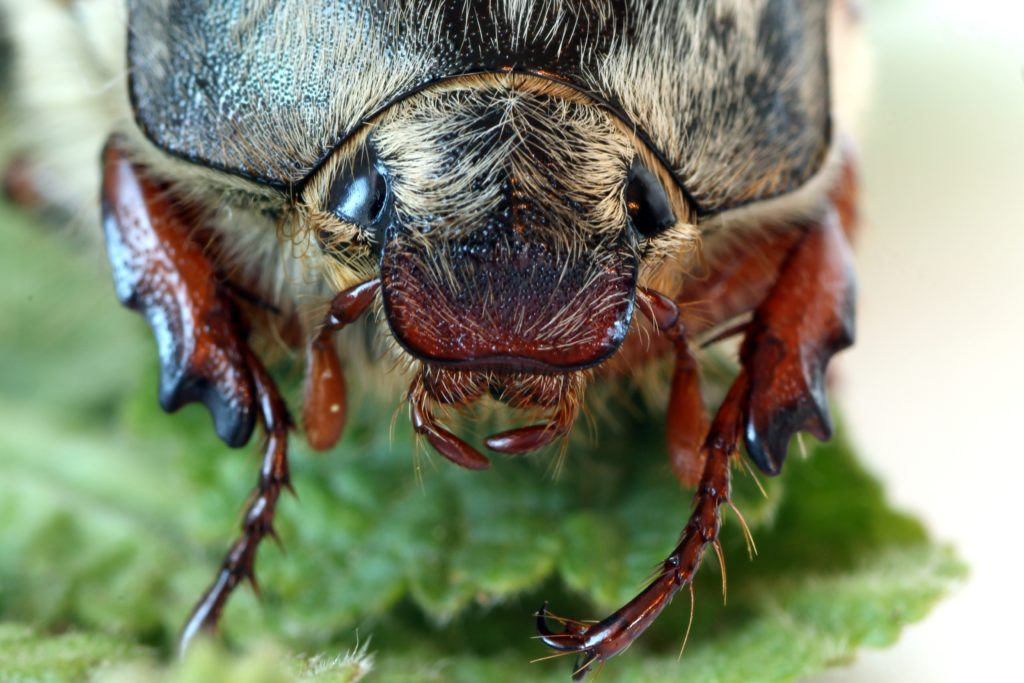Close up of the head of a cockchafer beetle, also known as a May Bug.