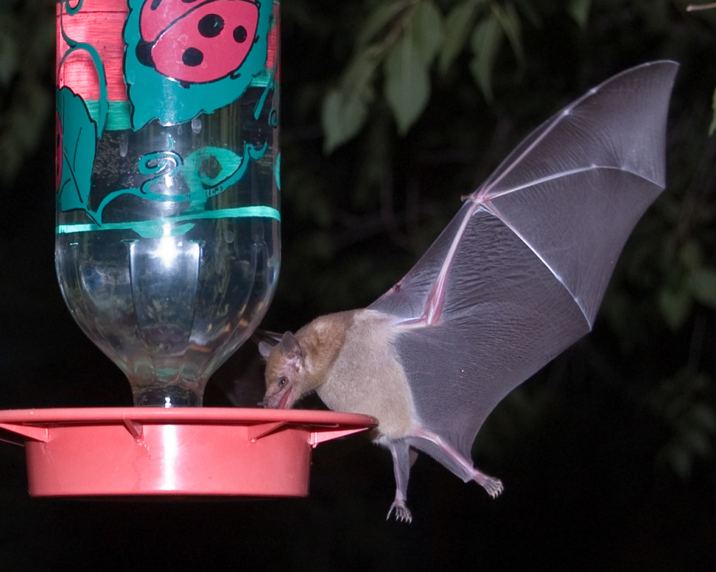 Mexican Long-tongued Bat drinking nectar from a hummingbird feeder.
