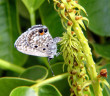 Miami Blue Butterfly. (© Holly Salvato / USFWS)*