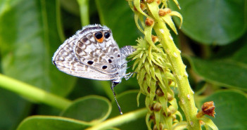 Miami Blue Butterfly, Cyclargus thomasi bethunbakeri, clinging to a flower stem.