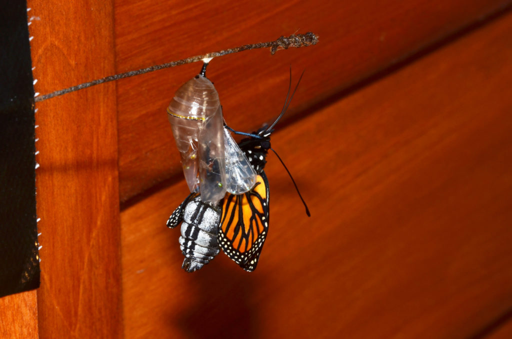 Monarch butterfly emerging from its chrysalis, showing its enlarged abdomen which is filled with fluid, and its limp, shrunken wings.
