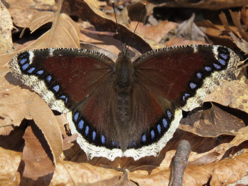 Mourning cloaks, Nymphalis antiopa