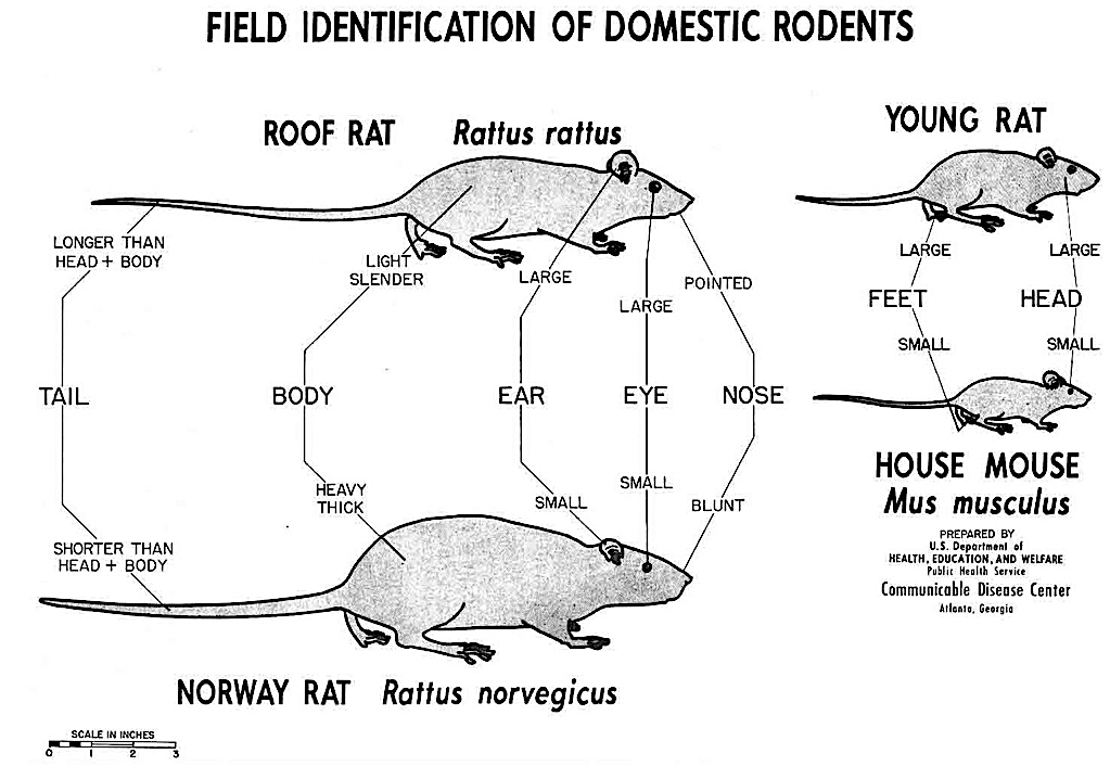 Black and white drawing of comparison between mouse and rat, with labels.