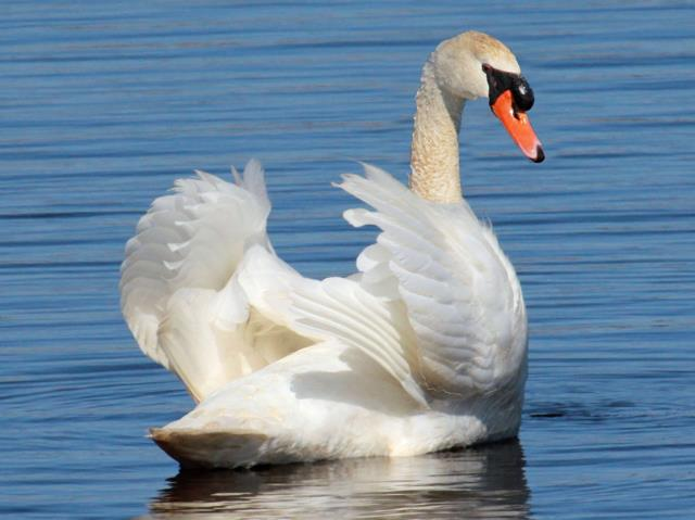 Mute Swan. (Dick Dunn / Wiki; cc by-sa 3.0)