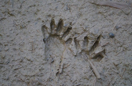 Image of Northern Raccoon's paw prints in mud.