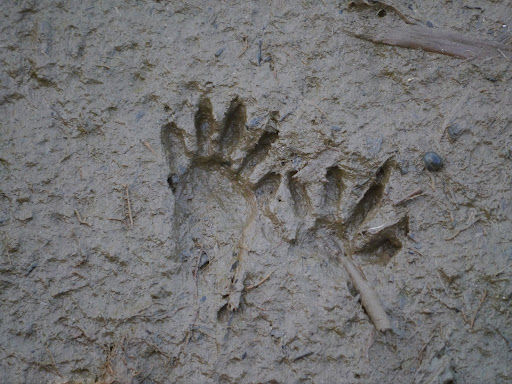 #Close up of Raccoon's fingerprints in mud.