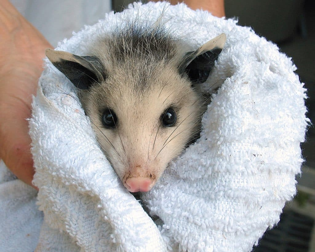 A person's hands hold a juvenile Virginia Opossum wrapped in a white towel, with its head sticking out.