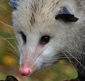 Close up of the face of a Virginia Opossum.