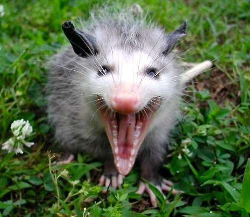All about the Virginia Opossum | Welcome Wildlife