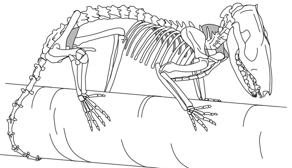 Black-and-white drawing of an opossum skeleton.