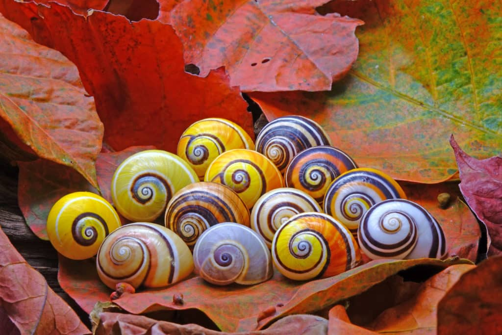 Thirteen Painted Snails, a Cuban species, in variations of many colors.