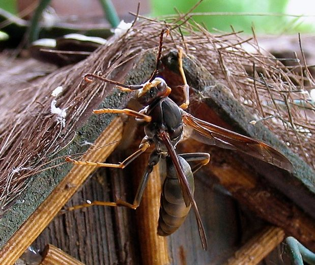 Close up image of a paper nest wasp queen clinging to a birdhouse.