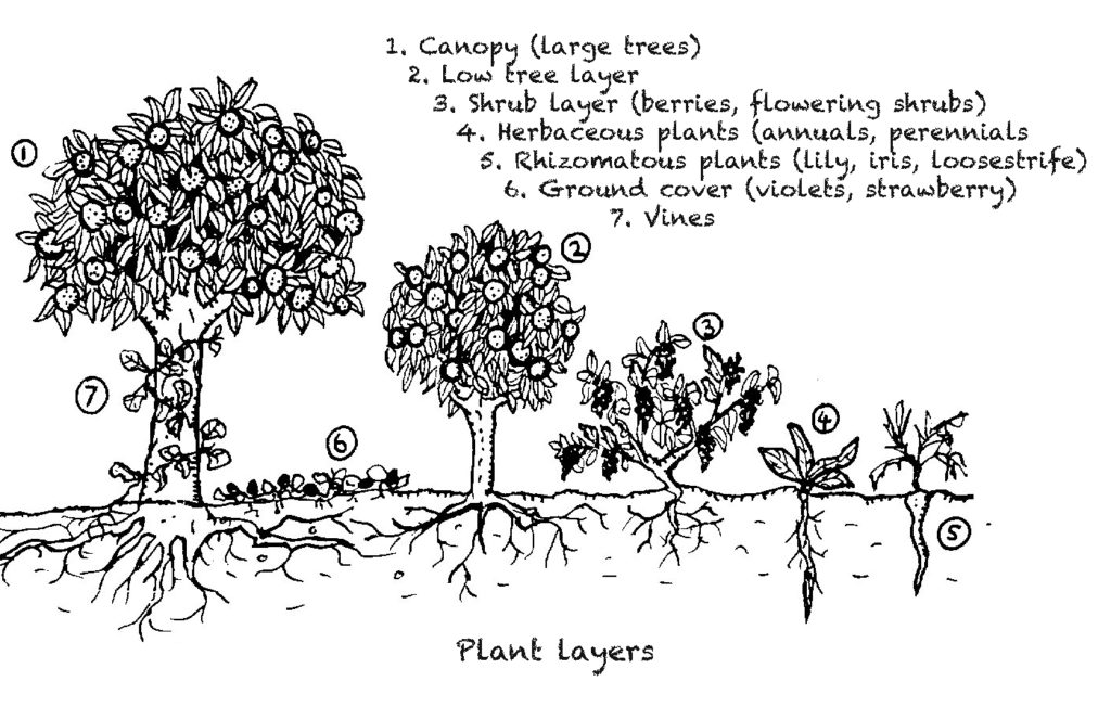 Black and white drawing showing steps from tallest plant, a tree, to shortest plant.