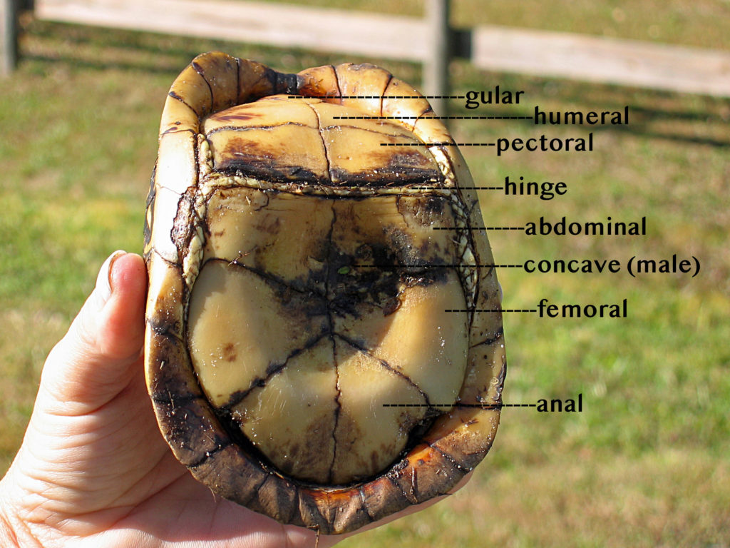 Underside of a box turtle with labels naming the largest scutes and showing the concave center of a male.