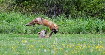 Two kit foxes are playing in a meadow bordered by shrubbery. One is on its back and the other is jumping over it.