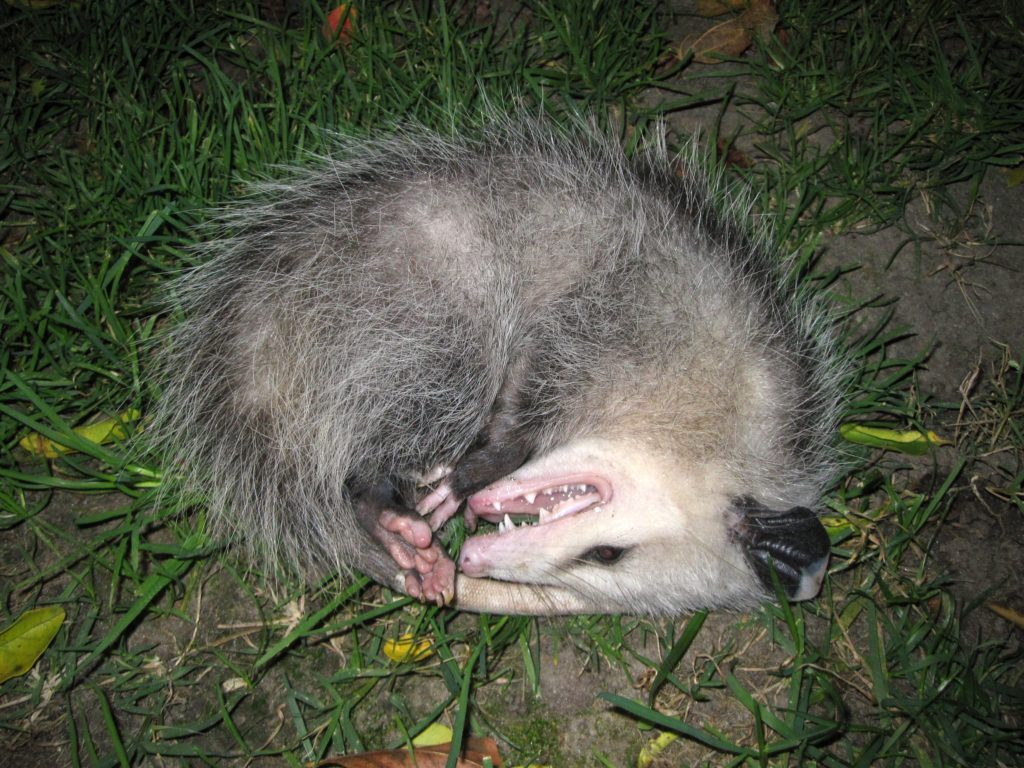 Opossum lying on its side pretending to be dead.