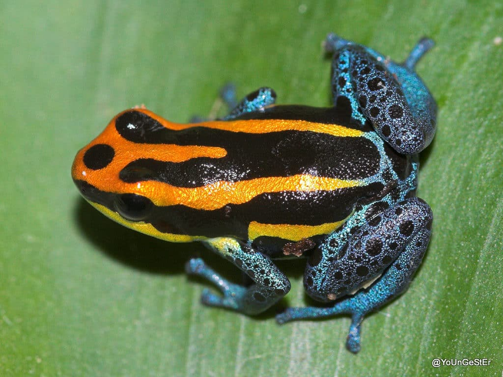 Beautiful poison dart frog Ranitomeya amazonica with orange and black stripes and blue markings.