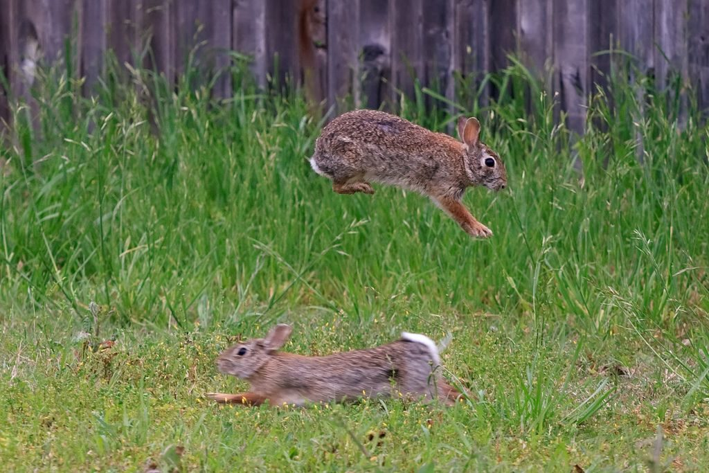 Two cottontail rabbits facing opposite directions, one jumping over the other.