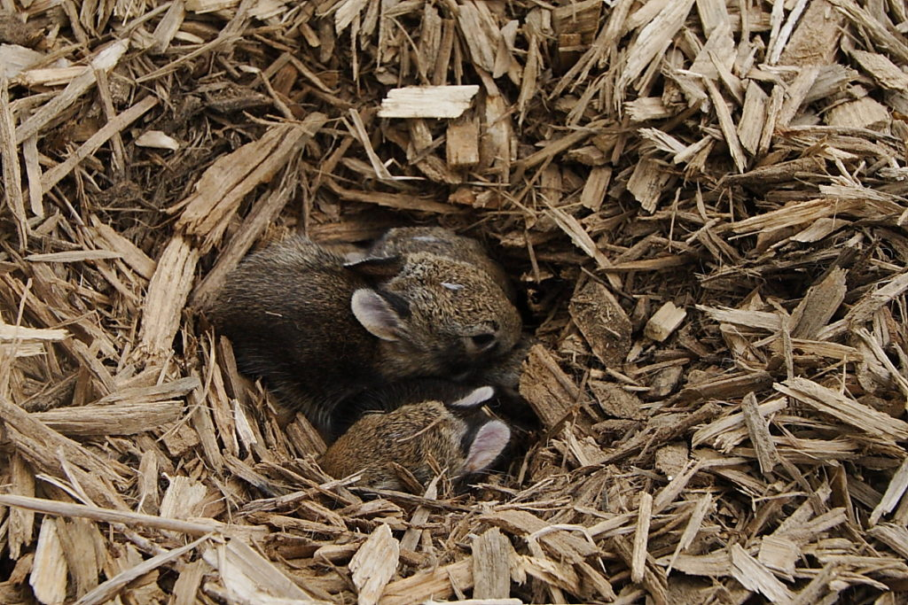 Three baby cottontail rabbits visible lying in nest dug into pile of wood mulch.