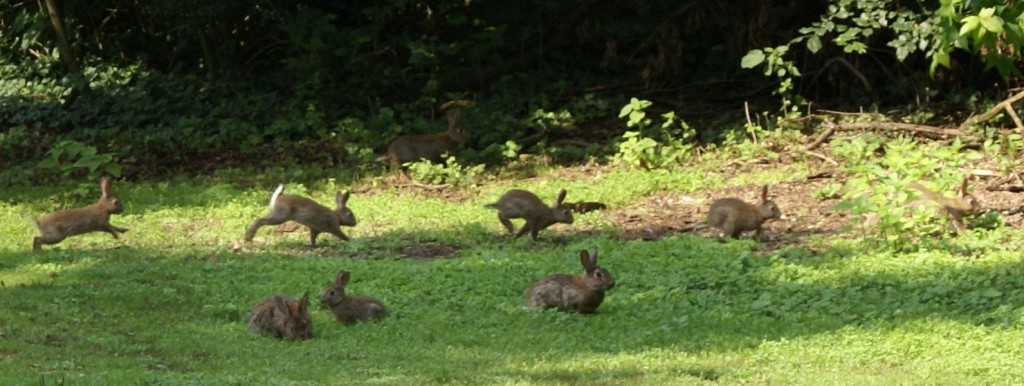 Several cottontails running around in a yard