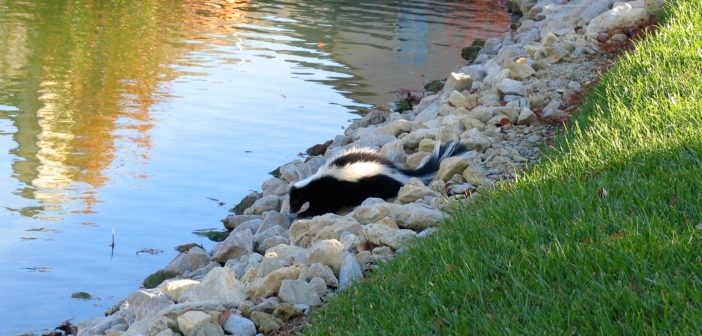 A rabid skunk out in the daytime, near the edge of a pond.