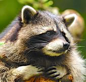 Close up of the face of a Northern Raccoon.