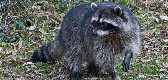 All about the Northern Raccoon