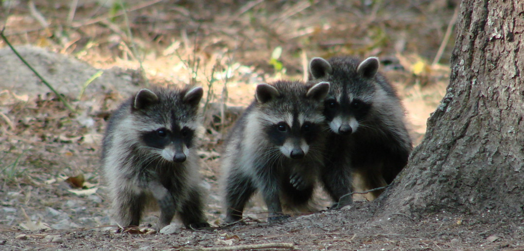 Image of Northern Raccoon mother and her two kits walking together.
