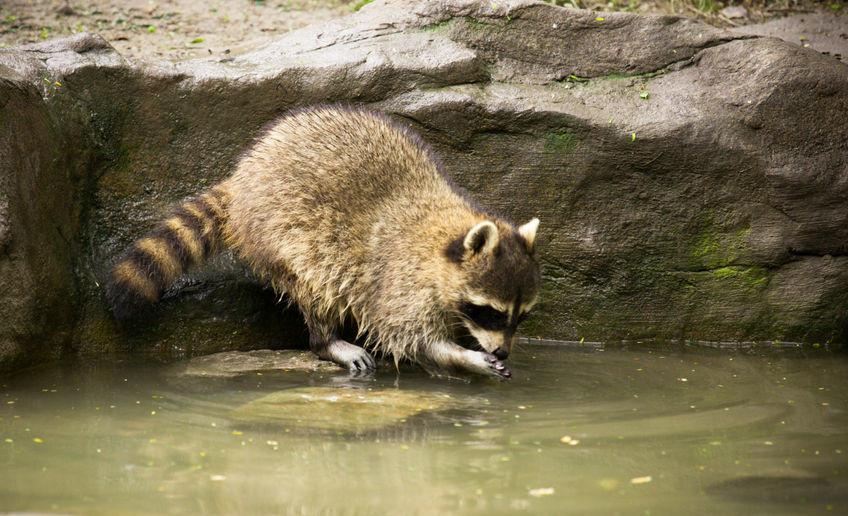 Image of a Northern Raccoon washing food in a pond or creek.