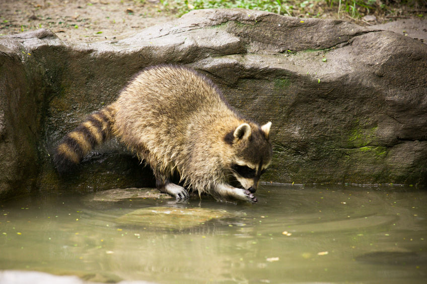 Northern Raccoon standing at edge of water and appearing to hold something in its front paws.