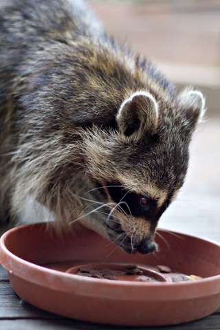 Northern raccoon eating dog food out of a flowerpot saucer.