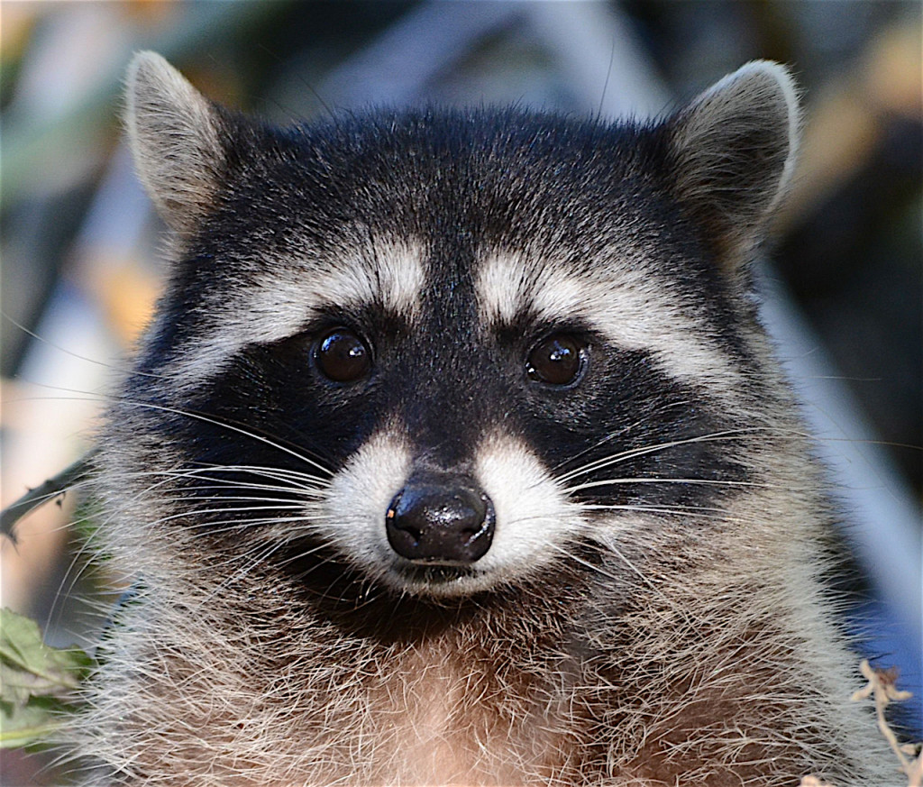 Close up image of a Northern Raccoon's face.