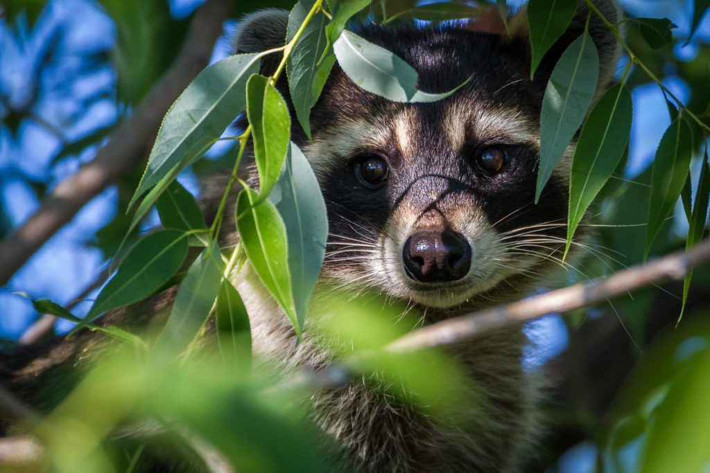 Northern Raccoon peeking through the leaves of a tree.