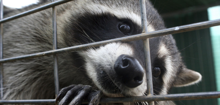 Captive Northern Raccoon sticking its snout through the bars on a small cage.