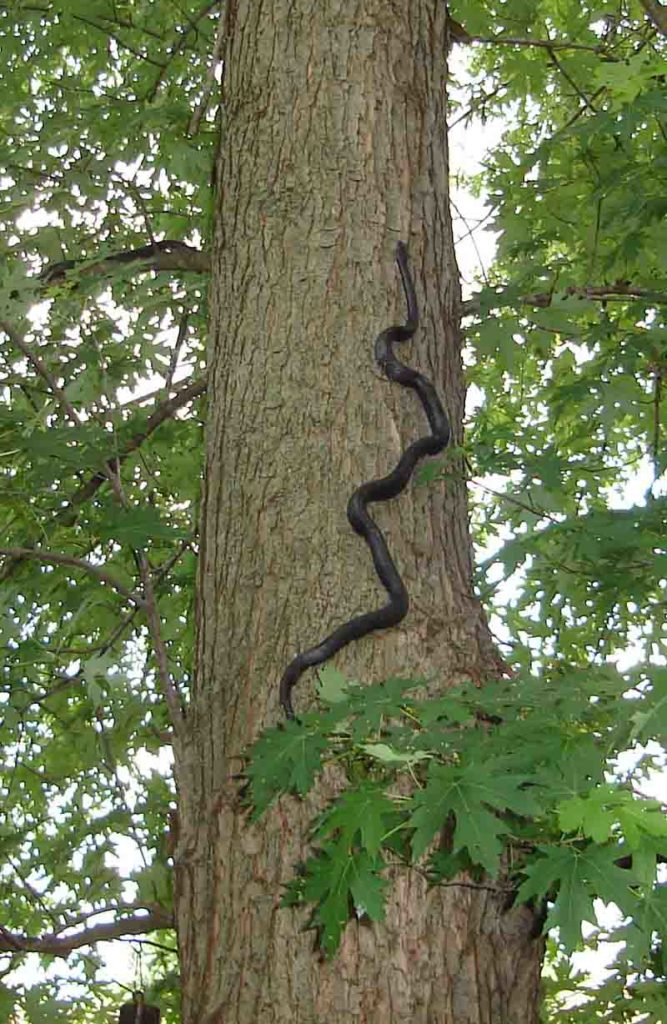 An Eastern Ratsnake, which has black skin, climbing a Silver Maple tree.
