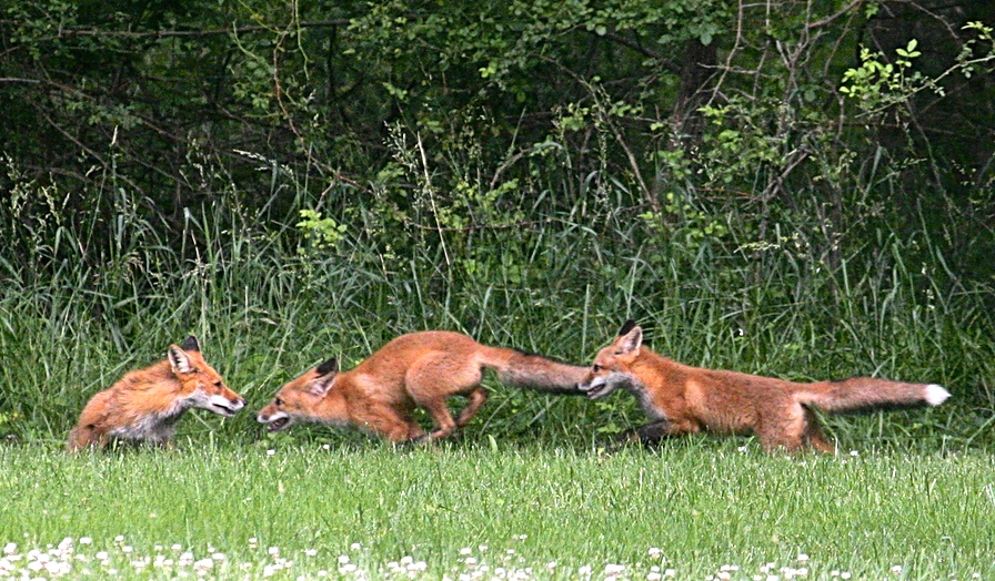 Three Red Foxes romping with each other on mowed grass, bordered by shrubbery.