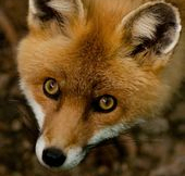 Close up of the face of a Red Fox.